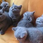 Голубые персидские котята