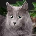 Мифическая порода кошек