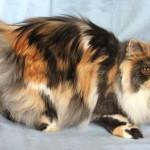 Черепаховый персидский кот