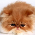 Рыжий персидский кот