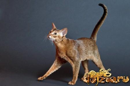 Дикий окрас абиссинской кошки (Rubby)