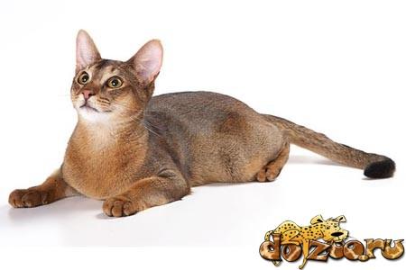 абиссинская порода кошек фото