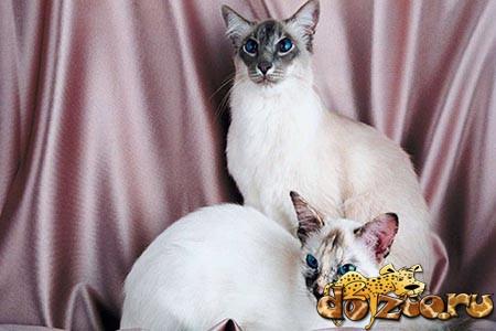 Балийские кошки