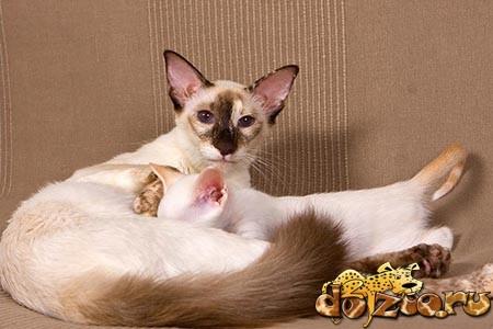 Беременная балийская кошка