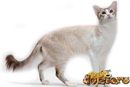 Балийская кошка фото