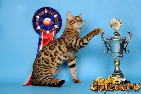 Бенгальская кошка победитель