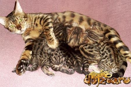 Бенгальская кошка и котята