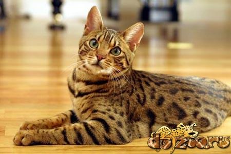 Беременная бенгальская кошка