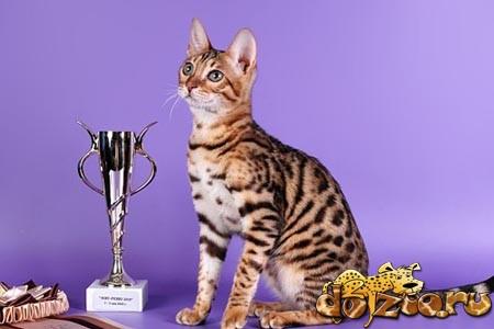 Стандарт бенгальской кошки