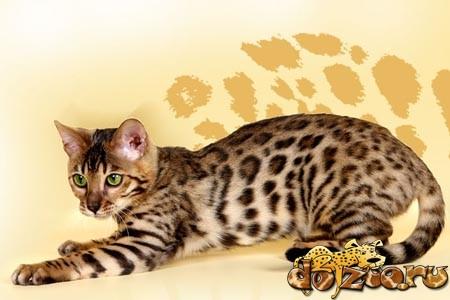 Бенгальская кошка CFA