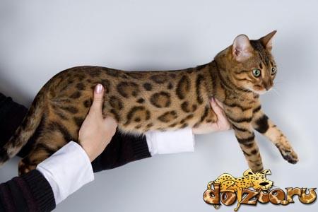 Стандарты бенгальской кошки