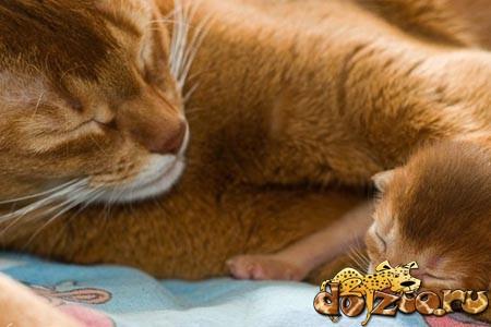 Абиссинская мама и котенок