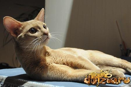 Абиссинская кошка Фавн (Fawn)