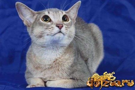 Голубая абиссинская кошка (Blue)