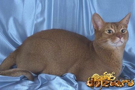 Абиссинская кошка соррель (Sorrel)