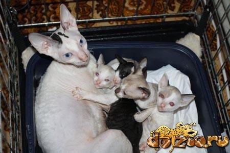 Кошка и котята корниш рекса в корзинке