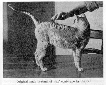 Одна из первых фотография породы корниш-рекс