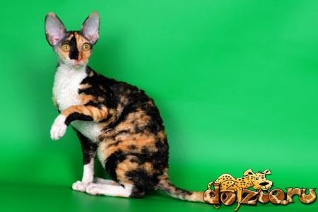 Порода кошек — корниш рекс