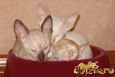 Корниш рекса спит в миске
