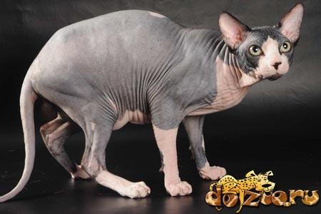 Кот канадский сфинкс