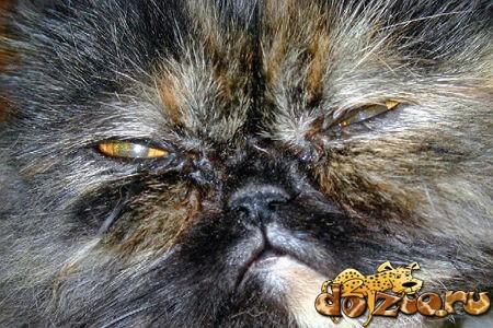 Болезни персидских кошек