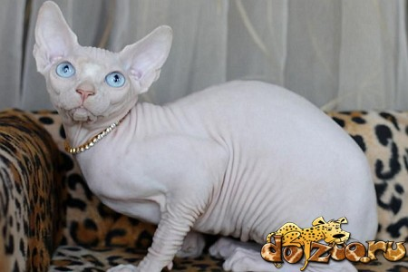 Фото породы кошек канадский сфинкс