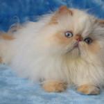 Коротконосая персидская кошка