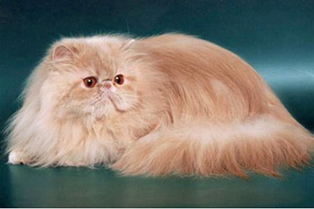 Стандарт персидской кошки