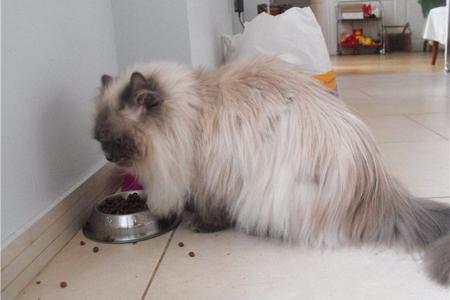 Натуральное питание персидской кошки