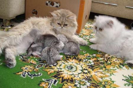 Персидская кошка с котятами