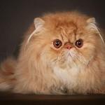 Стандарт кота перса-эстремала