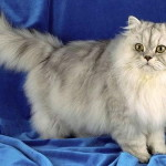 Устаревший тип персидской кошки