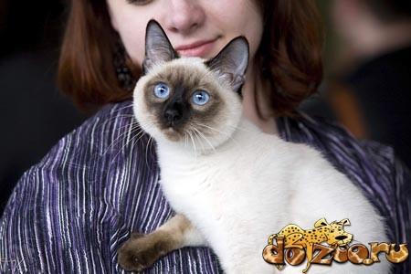Тайский кот с хозяйкой