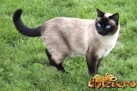 Тайский кот гуляет по траве
