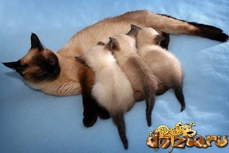 Тайская кошка мама с котятами