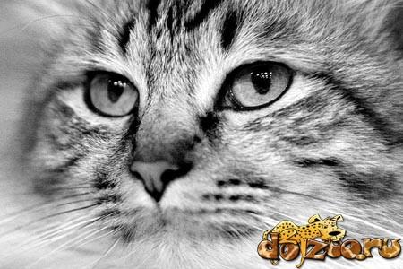 Сибирская кошка (черно-белое фото)
