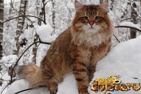 Сибирская кошка в зимнем лесу