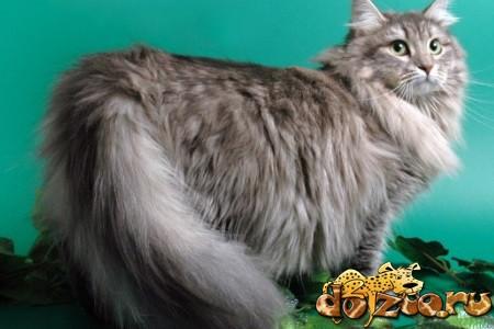Беременная сибирская кошка