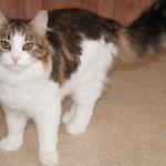 Сибирская кошка: Табби биколор