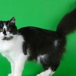 Сибирская кошка: Черный биколор