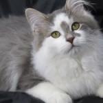 Сибирская кошка: Серый биколор