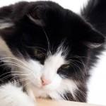 Сибирская кошка: Биколор