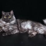 Сибирская кошка: окрас черный дым