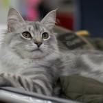 Черный затушеванный сибирский кот