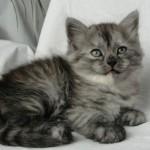Дымчатый котенок сибирской кошки