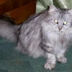 Сибирская кокша: окрас шиншилла