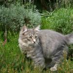 Сибирская кошка на прогулке короткошерстная на природе