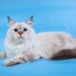 Сибирская кошка: Блю-Торти-Пойнт