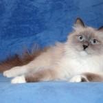 Сибирская кошка: Крем-Пойнт