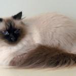 Сибирская кошка: Сил-пойнт